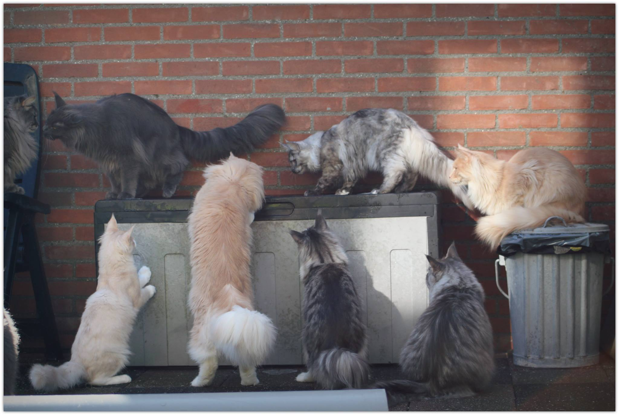 groep maine coons